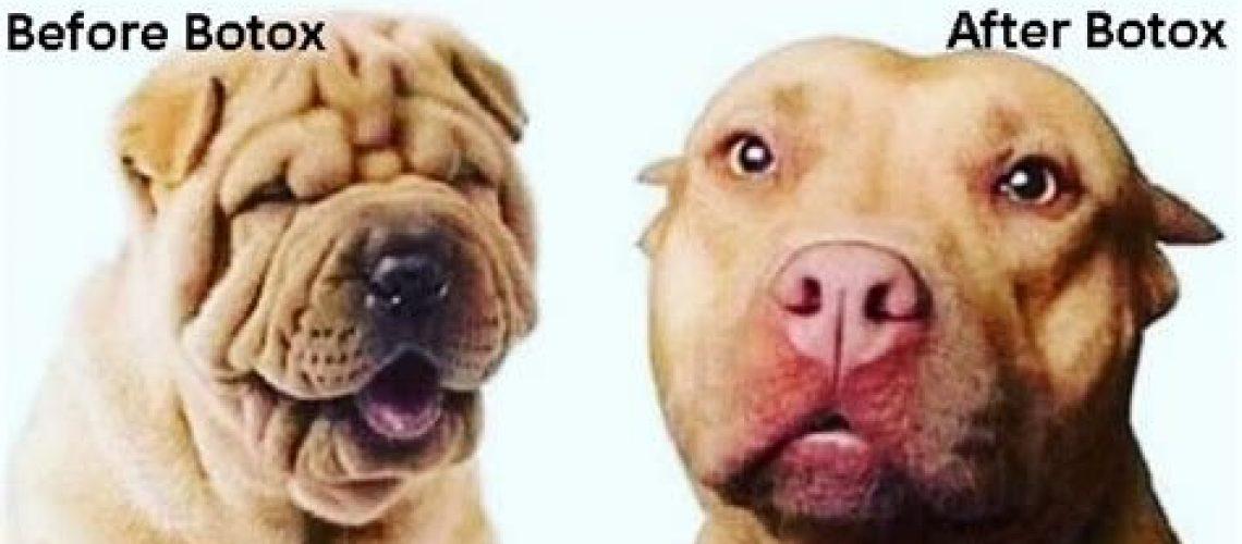 botox dog